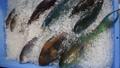 ブダイ 鮮魚 魚の動画 22834250