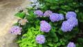 紫陽花の咲く小道 22841986
