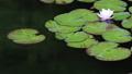 睡蓮の花 桃色  22841991