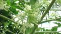 風に揺れるパパイアの花 22985477