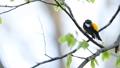 キビタキ 鳥 野鳥の動画 23021971