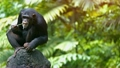 Mature Chimpanzee Perched on a Rock at the Zoo 23038238