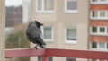 crow, bird, animal 23086058