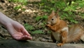 Red Squirrel Takes a Nut From the Hands. Slow 23496402