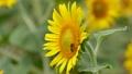 向日葵 蜂 ミツバチの動画 23579164