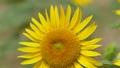 向日葵 蜂 ミツバチの動画 23579166