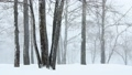 粉雪舞う木立(フィックス) 23706799