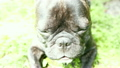 Pet dog breed French Bulldog lying on the grass 23745764