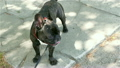 dog breed french bulldog licking outdoors 23745770