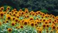 ひまわり ひまわり畑 向日葵の動画 23928231