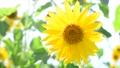 風に揺れる向日葵 23965814