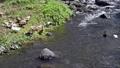 仲良く泳ぐ二羽のアヒルと川岸で羽繕いをするアヒルたち 23970074