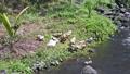 川岸で羽繕いをするアヒルたち 23970076