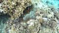 冲绳Akajima的Hakugannanomi的水下摄影 24048152