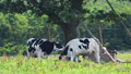 cow, cattle, cows 24104624