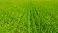 Rice 24110924