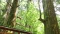 翼雪松(群馬縣指定天然寶藏) 24147599