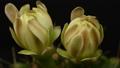 タイムラプス サボテン 花の動画 24151306