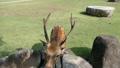 Deer in Nara Park 24168062