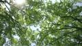 新緑木 漏れ日 音声あり(さえずり) 24241666