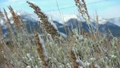 Prairie grasses covered with snow sway in a winter 24441150