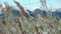 Prairie grasses covered with snow sway in a winter 24441151