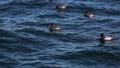 水面に漂うカモの群れ 24472702