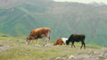 Cows Grazing on a Mountain Pasture 24514756