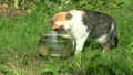 Tabby cat catching fish upset glass aquarium and 24570653