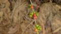 Hand harvesting coffee beans ripe on coffee tree 24653085