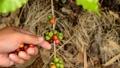 Hand harvesting coffee beans ripe on coffee tree 24653086