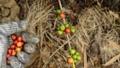 Hand harvesting coffee beans ripe on coffee tree 24653089
