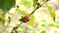 Hand harvesting coffee beans ripe on coffee tree 24653090