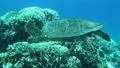 泳ぐウミガメ 24667085