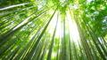 竹林 緑 風 木漏れ日 太陽 太陽光線 フレア パン 24781876