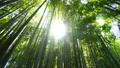 移動撮影 強烈な木漏れ日 竹林 緑 風  太陽 太陽光線 フレア ズームアウト 24781880