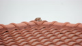 Relaxing Couple Zebra Dove On Red Roof Footage 24868503