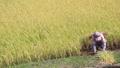 実りの秋 稲を刈る女性 24916143