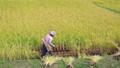 実りの秋 稲を刈る女性 24916144