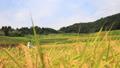 一条刈りバインダーで稲刈り 24916145