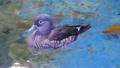 Mandarin Duck Female (Aix galericulata) 24977305