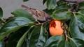 雀 野鳥 小鳥の動画 24998364