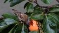 雀 野鳥 小鳥の動画 24998365