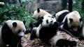 ジャイアントパンダ(中国-成都大熊猫繁育研究基地) 25046062