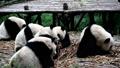 ジャイアントパンダ(中国-成都大熊猫繁育研究基地) 25046064