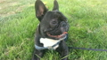 Pet dog breed French Bulldog lying on the grass 25057581