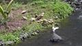 川岸で羽繕いをしたり羽根を広げるアヒルたち 25138228