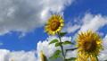 ひまわり畑に流れる雲 飛び交うトンボ 25174788