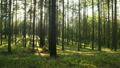 summer pine forest in sunny day dolly shot 25177531