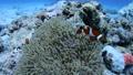 小丑anemonefish和海葵 25204048